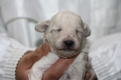 トイプードルホワイト(白)の子犬オス、生後2週間画像
