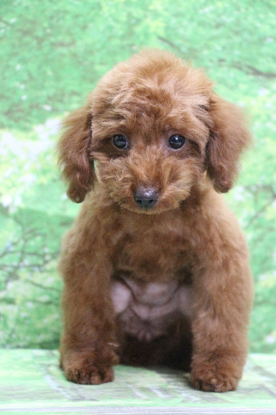 トイプードルレッドの子犬メス、東京都世田谷区マーニーちゃん画像