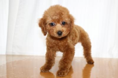 トイプードルレッドの子犬メス、生後3ヵ月画像