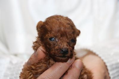ティーカッププードルレッドの子犬、生後5週間画像