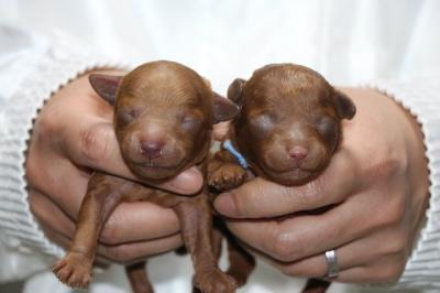 トイプードルレッドの子犬オス2頭、生後3日画像
