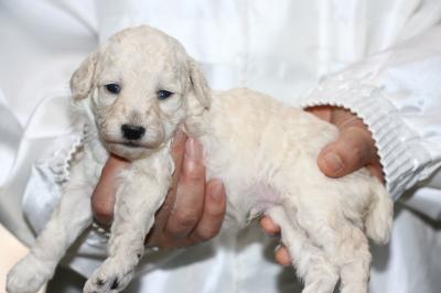 トイプードルホワイト(白)オス、生後3週間画像