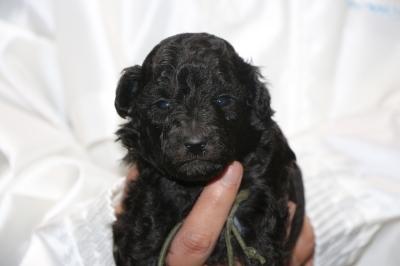 トイプードルシルバーオス、生後3週間画像