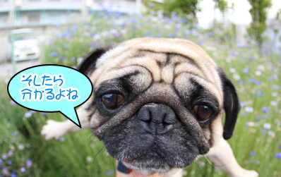 ペットホテルin千葉県、パグのハフ君from茨城県取手市画像