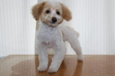 トイプードルホワイト&レッド(白赤)の子犬オス、生後3ヵ月画像
