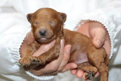 トイプードルレッドの子犬オス、生後10日画像