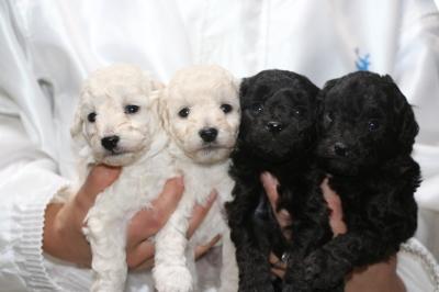 トイプードルホワイト(白)オス2頭シルバーオス2頭、生後4週間画像