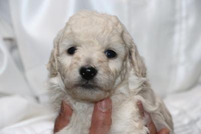 トイプードルホワイト(白)の子犬オス、生後4週間画像