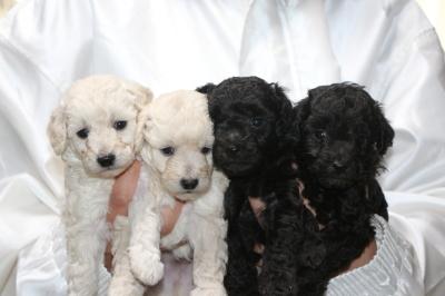 トイプードルホワイト(白)オス2頭シルバーオス2頭、生後5週間画像