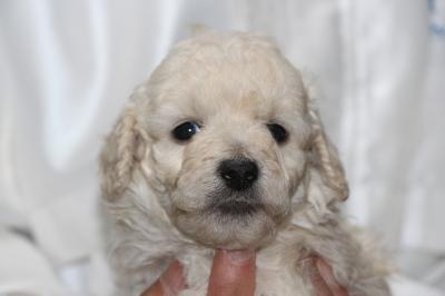 トイプードルホワイト(白)オス、生後5週間画像