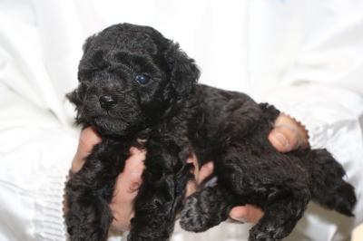 トイプードルシルバーオス、生後5週間画像