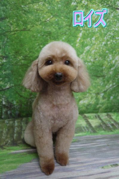 トイプードルブリーダーの成犬、トリミング前画像
