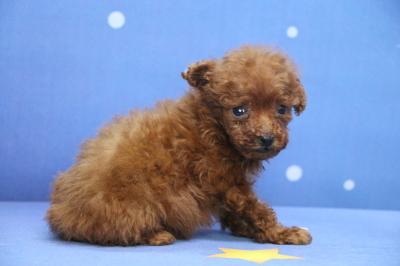 ティーカッププードルレッドの子犬メス、生後8週間画像