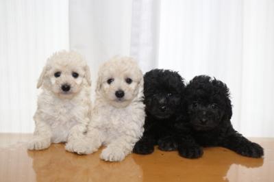 トイプードルホワイト(白)オス2頭シルバーオス2頭、生後6週間画像