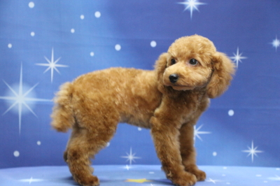 トイプードルレッドの子犬メス、生後4ヵ月画像
