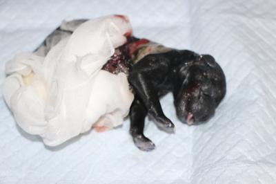 トイプードルシルバーの子犬メス、産まれたばかり画像