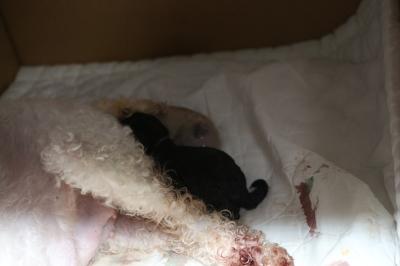トイプードルホワイト(白)の子犬メス、産まれたばかり画像