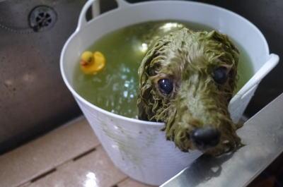 千葉県柏市のトイプードルのハーブ湯画像