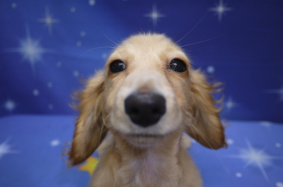 ミニチュアダックスのブリーダーの子犬、トリミング画像