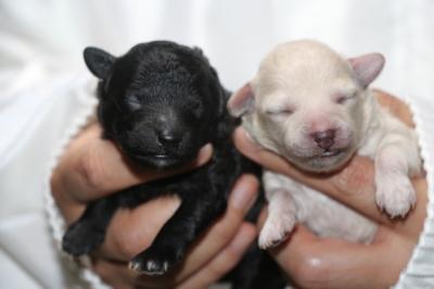 トイプードルシルバーとホワイト(白)の子犬メス、生後2日画像