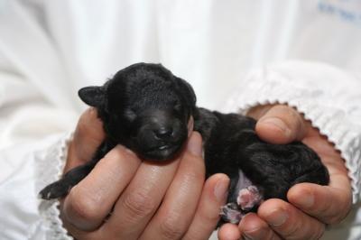 トイプードルシルバーの子犬メス、生後2日画像