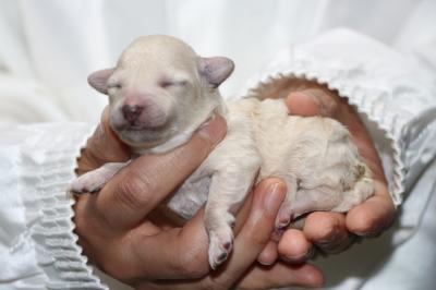トイプードルホワイト(白)の子犬メス、生後2日画像