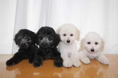 トイプードルホワイト(白)オス2頭シルバーオス2頭、生後2ヵ月画像