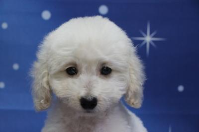 トイプードルホワイト(白)の子犬オス、生後2ヵ月画像