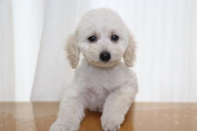 タイニープードルホワイト(白)の子犬オス、生後2ヵ月画像