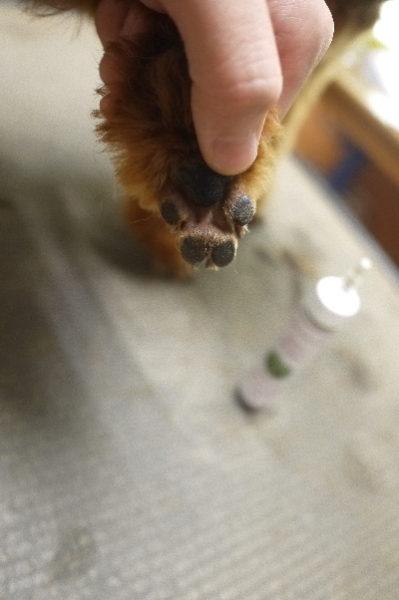 千葉県千葉市のトイプードルの肉球ケア画像