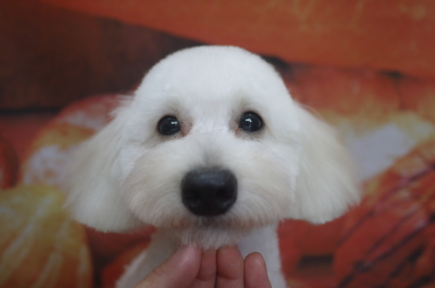 トイプードルブリーダー成犬、トリミング画像