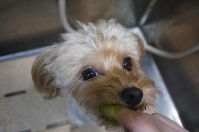 千葉県鎌ヶ谷市のミックス犬のハーブ歯磨き画像