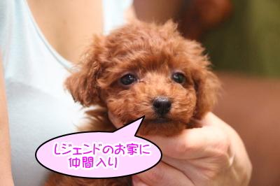 ティーカッププードルレッドの子犬メス、千葉県市原市チャコちゃん