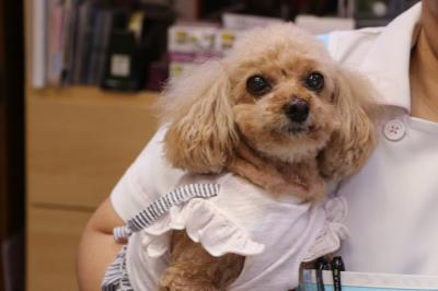 タイニープードルレッドの子犬メス、千葉県市原市ディーバちゃん画像
