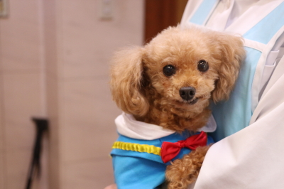 ティーカッププードルレッドの子犬オス、千葉県市原市アンディ画像