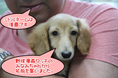 ミニチュアダックスイエロー(クリーム)の子犬メス、神奈川県川崎市みなみちゃん画像