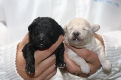 トイプードルシルバーとホワイト(白)の子犬メス、生後1週間画像