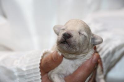 トイプードルホワイト(白)の子犬メス、生後1週間画像