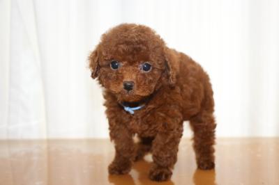 タイニープードルorティーカッププードルレッドの子犬オス、生後7週間画像