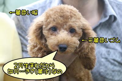 トイプードルレッドの子犬メス、神奈川県川崎市さきちゃん画像