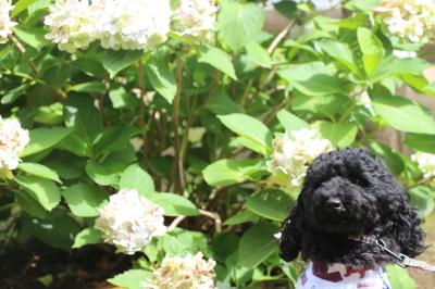 トイプードルブラック(黒色)メス、東京都墨田区ポチ子ちゃん画像