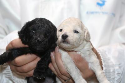 トイプードルシルバーとホワイト(白)の子犬メス、生後2週間画像