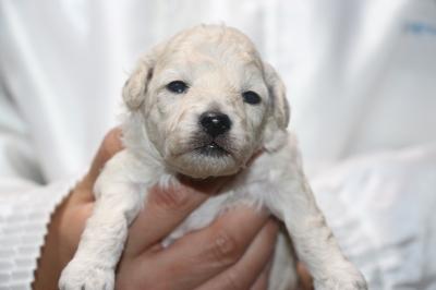 トイプードルホワイト(白)の子犬メス、生後2週間画像