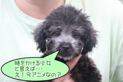 トイプードルシルバーの子犬オス、千葉県松戸市とき君画像