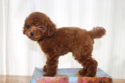 タイニープードルレッドの子犬オス、生後2ヵ月画像