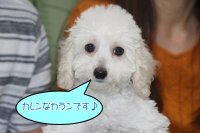 トイプードルホワイト(白色)の子犬オス、千葉県千葉市カラン君画像