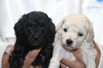 トイプードルシルバーとホワイト(白)の子犬メス、生後3週間画像