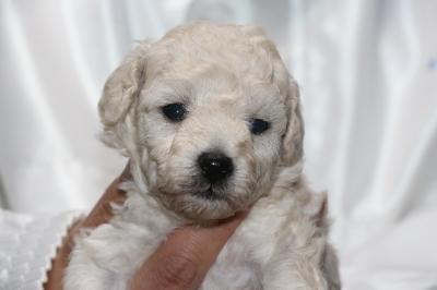 トイプードルホワイト(白)の子犬メス、生後3週間画像