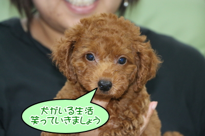 トイプードルレッドの子犬オス、千葉県船橋市ラフ君画像