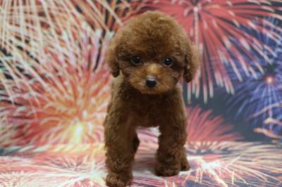 タイニープードルレッドの子犬オス、千葉県鎌ヶ谷市アーチ君画像